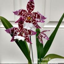 Oda. Saint Russ 'New Vision Orchids' HCC/AOS