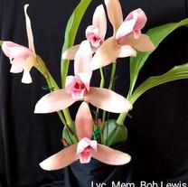 Lyc. Mem. Bob Lewis, New Vision Orchids