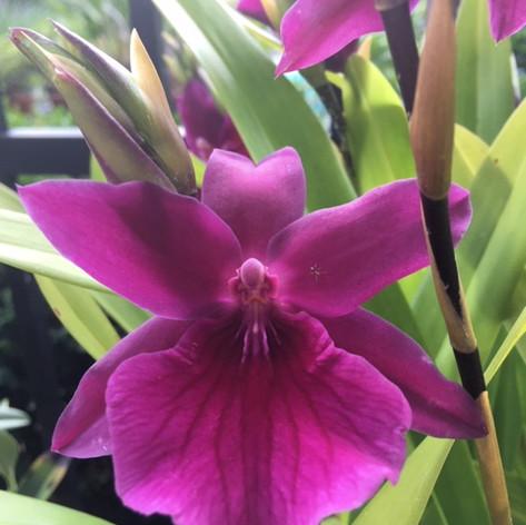 Miltonia Honolulu 'Warne's Best '