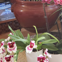 Two of the three orchids I have