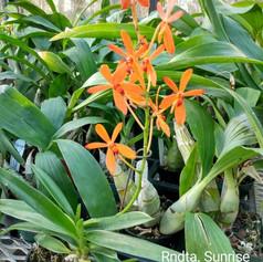 Rndta. Sunrise 'Prasong' AM/AOS (Fair Orchids)