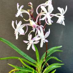 Vandacostylis Baby Angel(Orchidphile)