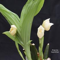 Anguloa tognettiae