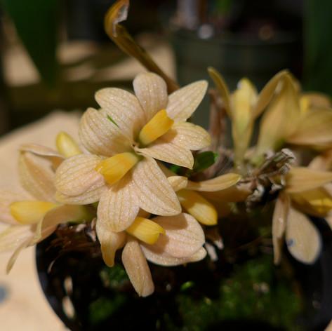 Dendrobium laevifolium aureum