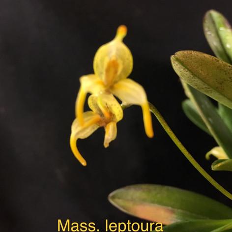 Masd. leptoura