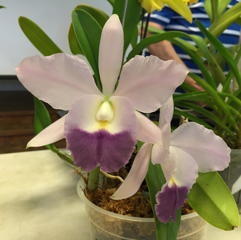 Cattleya Blue Velvet 'Surprise'