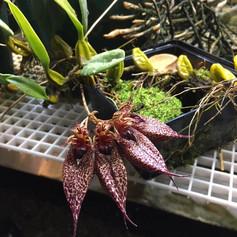 Cirr. Elizabeth Ann 'Buckleberry' fcc/AOS  from Orchids by Mellott