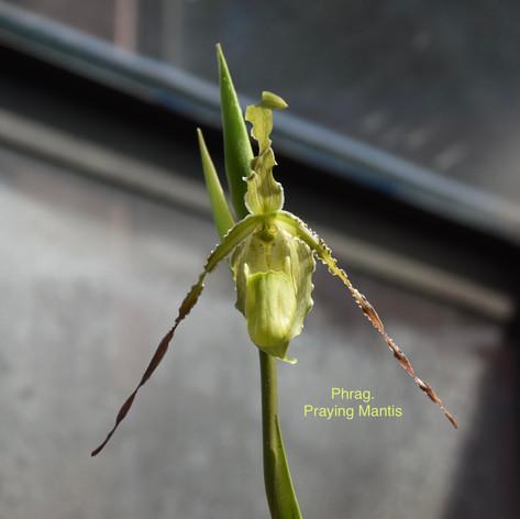 Phrag. Praying Mantis