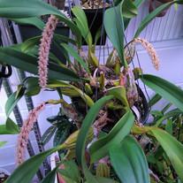 Bulbophyllum lilacinum