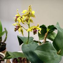Dendrobium Kaila Quintal x polysema