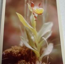 (probably) Cypripedium parviflorum var makasin