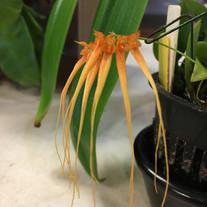 Bulbophyllum tingabarinum v. alba