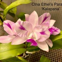 Ctna Ethel's Paradise 'Kalapana'
