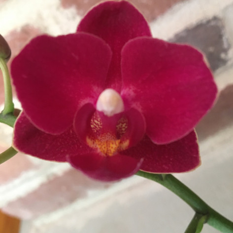Phal. Younghome Little Vermilion (Younghome Sunkist x Brother Oconee)
