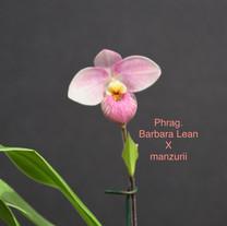 Phrag. Barbara Lean x manzurii