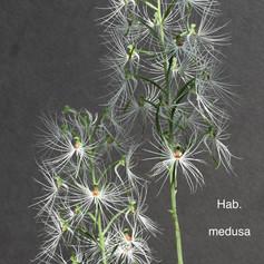 Hab. medusa