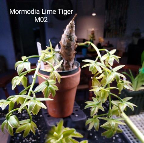 Mormodia Lime Tiger M02