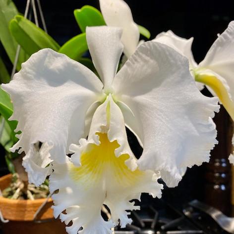Cattleya 'Joy Parmar'