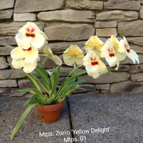Mtps. Zorro 'Yellow Delight'