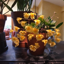 Dendrobium aggregatum var Majus