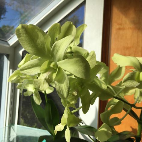 Dendrobium 'Pongton Green'