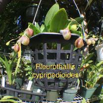 Pleurothallis cypripedioides