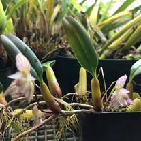 Bulbophyllum ambrosia