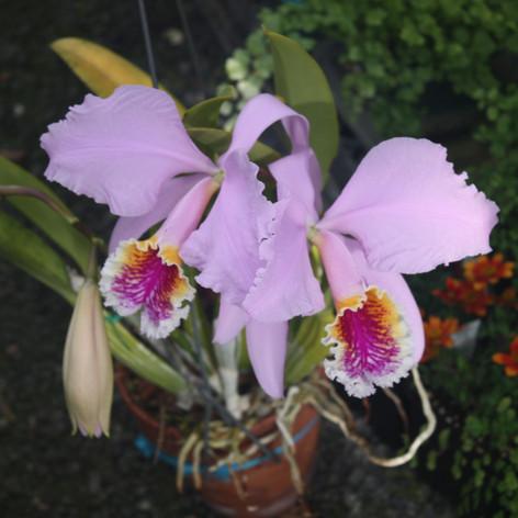 c. mossiae