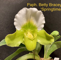 Paph. Betty Bracey 'Springtime'