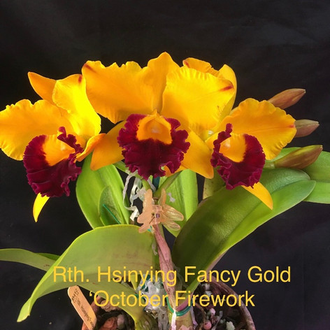 Rth. Hsinying Fancy Gold October Firework
