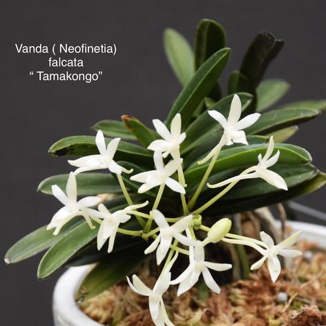 """Vanda (Neofinetia) falcata """"Tamakongo"""""""