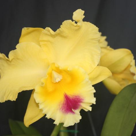 goldenzelle `lemon chiffon' am