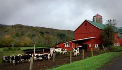 COWS ENTERING BARN