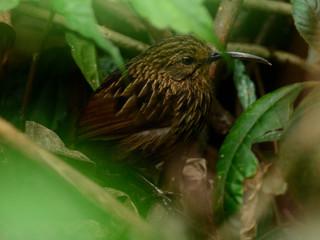 Long-billed Wren-babbler
