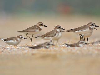 Lesser Sandplovers