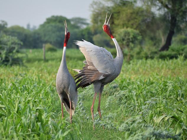 Sarus Crane © Lokesh Kumar