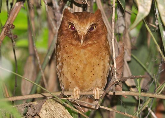 Serendib Scops-owl © Uditha Hettige