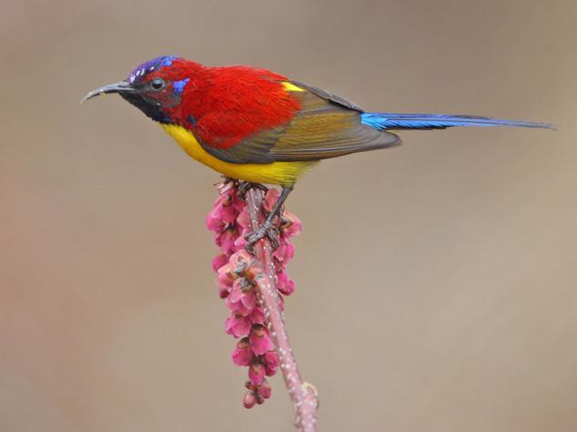 Mrs Gould's Sunbird © Kit Day