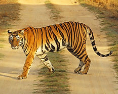 CI001_Tiger_LK edt.jpg