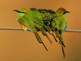 Green Bee-eater © Kit Day