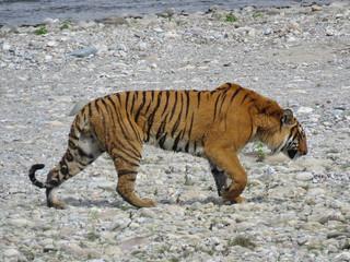 Bengal Tiger © Lokesh Kumar