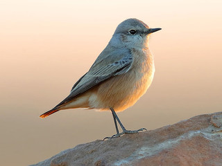 Red-tailed Wheatear © Kit Day