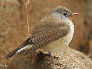 Taiga Flycatcher © Lokesh Kumar