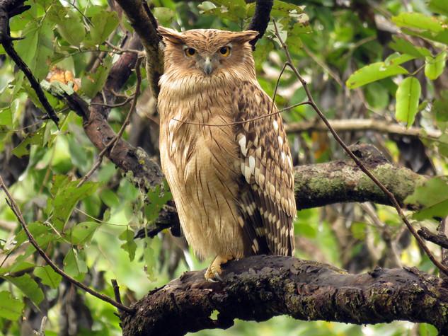Brown Fish-Owl © Lokesh Kumar