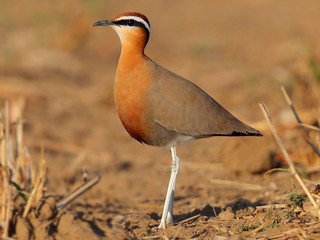 Indian Courser © Kit Day