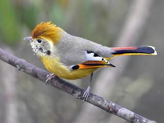 Bar-throated Minla (Chestnut-tailed Minla)
