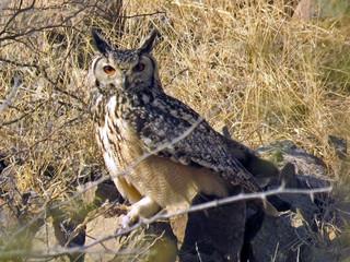 Rock Eagle Owl