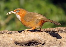 Rusty-cheeked Scimitar Babbler © Lokesh Kumar