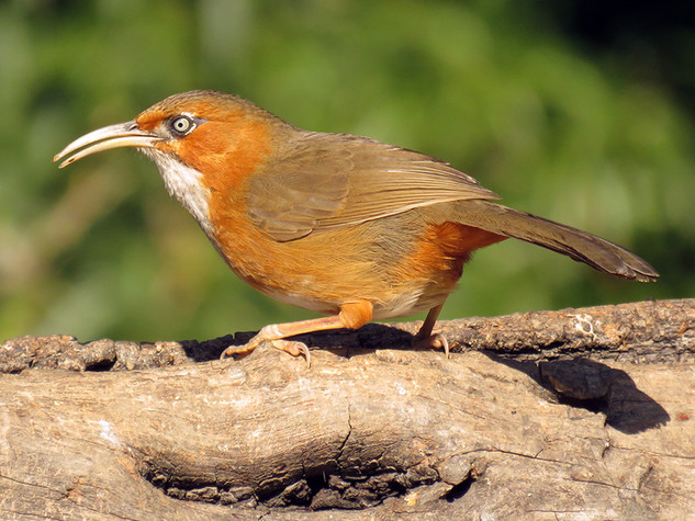 Rusty-cheeked Scimitar-babbler © Lokesh Kumar