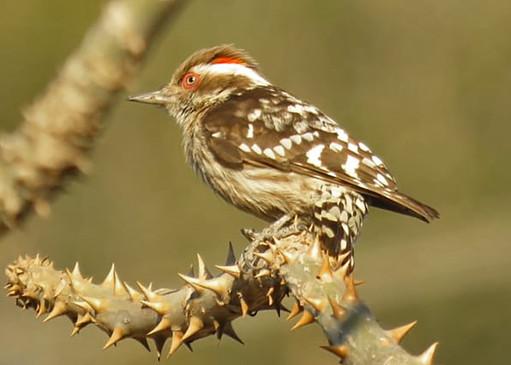 Brown-capped Pygmy Woodpecker © Lokesh Kumar